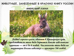 АМУРСКИЙ ГОРАЛ Подвид горного козла, обитает в Приморском крае, представители