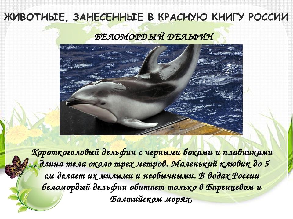 БЕЛОМОРДЫЙ ДЕЛЬФИН Короткоголовый дельфин с черными боками и плавниками , дли...