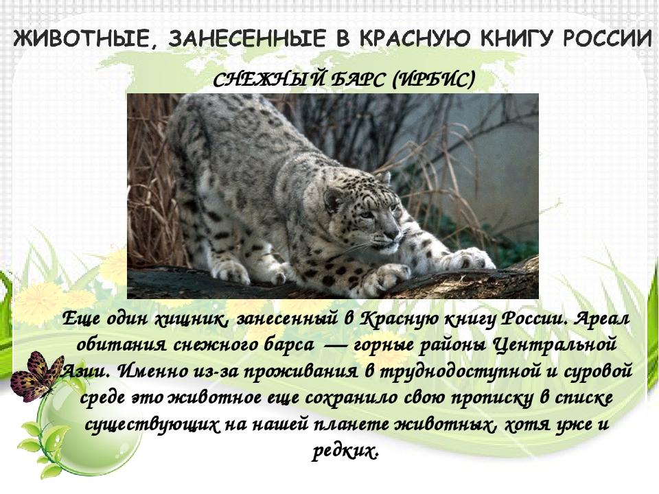 СНЕЖНЫЙ БАРС (ИРБИС) Еще один хищник, занесенный в Красную книгу России. Ареа...