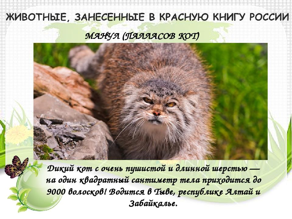 МАНУЛ (ПАЛЛАСОВ КОТ) Дикий кот с очень пушистой и длинной шерстью — на один к...