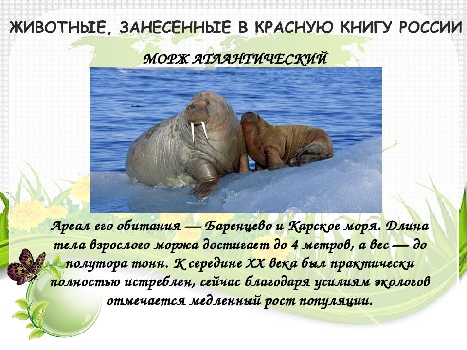 МОРЖ АТЛАНТИЧЕСКИЙ Ареал его обитания — Баренцево и Карское моря. Длина тела...