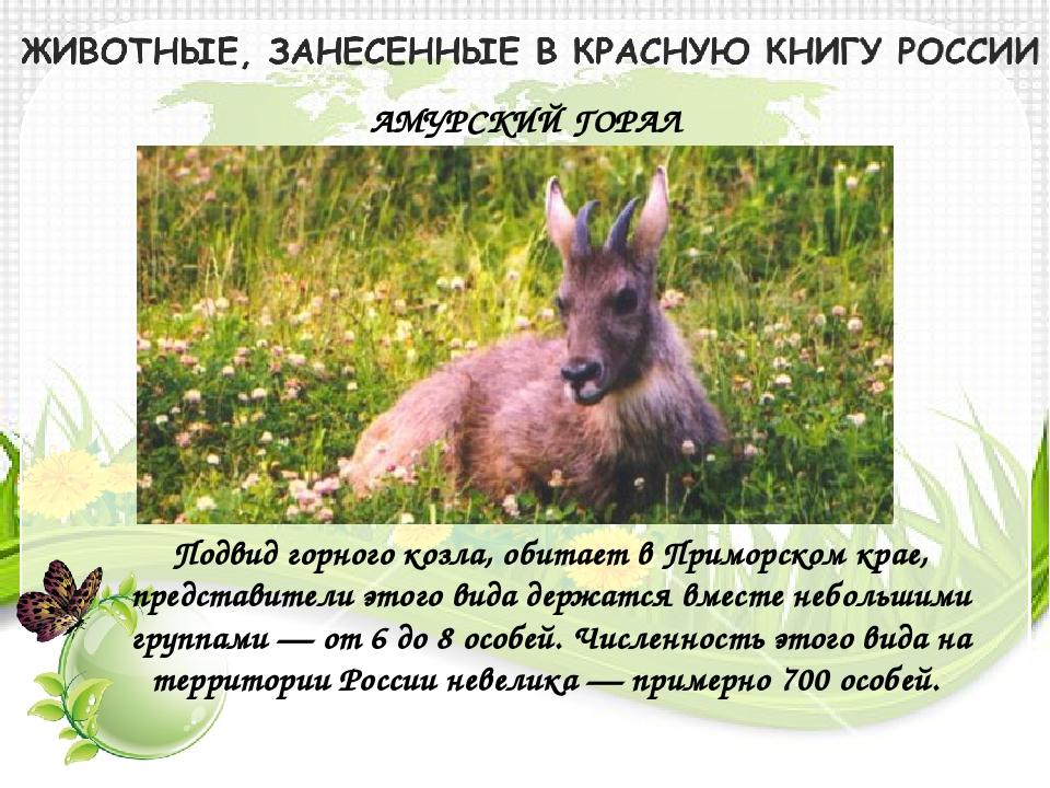 АМУРСКИЙ ГОРАЛ Подвид горного козла, обитает в Приморском крае, представители...