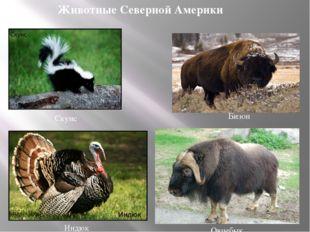 Бизон Овцебык Животные Северной Америки Скунс Индюк