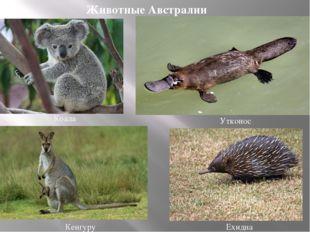 Кенгуру Коала Утконос Ехидна Животные Австралии