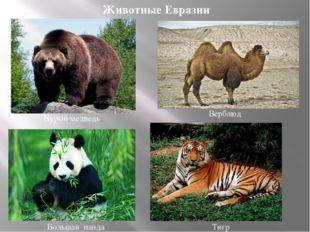 Большая панда Бурый медведь Тигр Верблюд Животные Евразии