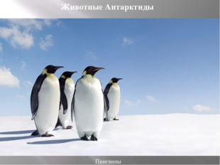 Пингвины Животные Антарктиды