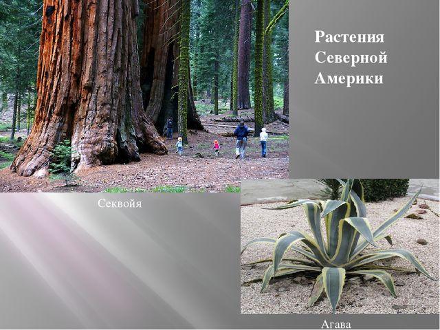 Секвойя Агава Растения Северной Америки