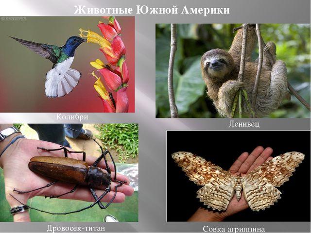 Ленивец Совка агриппина Дровосек-титан Колибри Животные Южной Америки