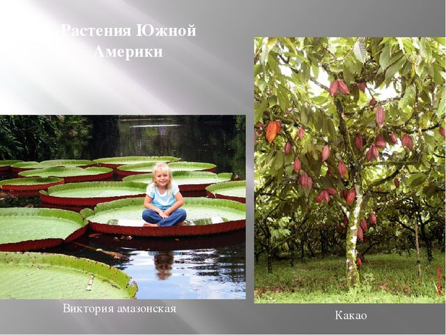 Виктория амазонская Какао Растения Южной Америки