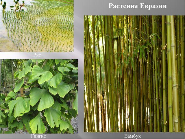 Бамбук Рис Гингко Растения Евразии