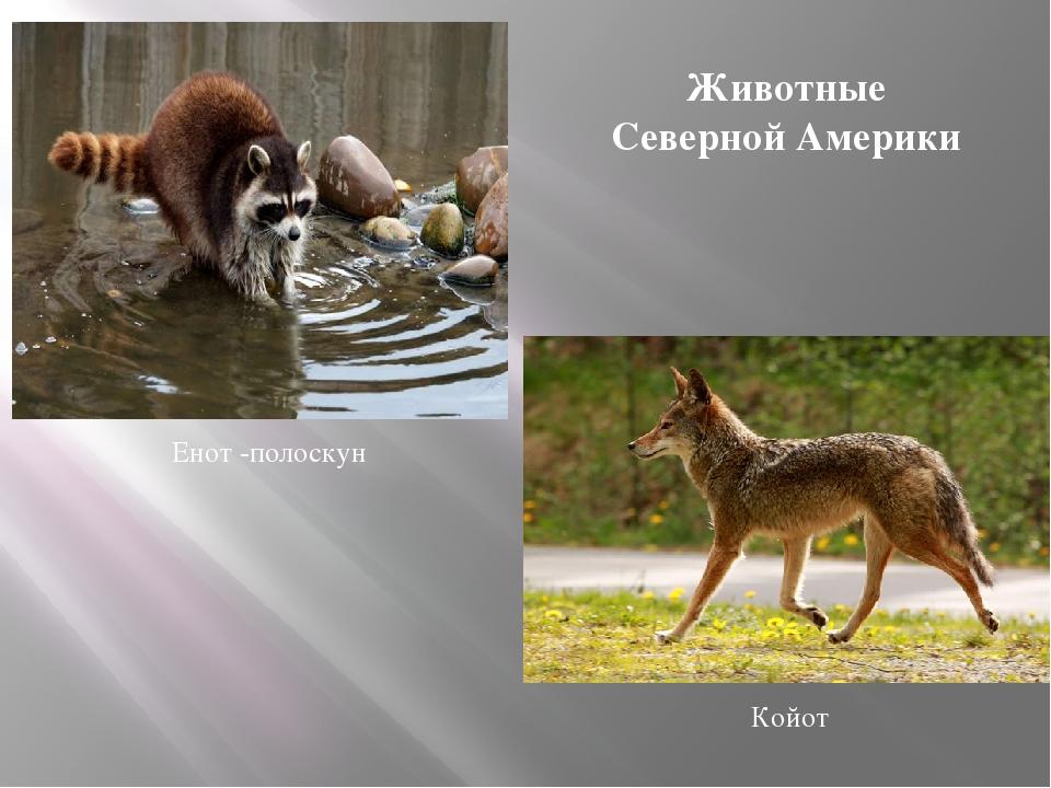 Енот -полоскун Койот Животные Северной Америки