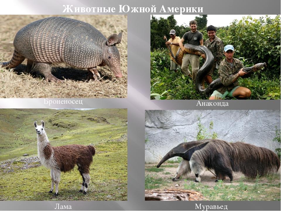 Анаконда Муравьед Лама Броненосец Животные Южной Америки