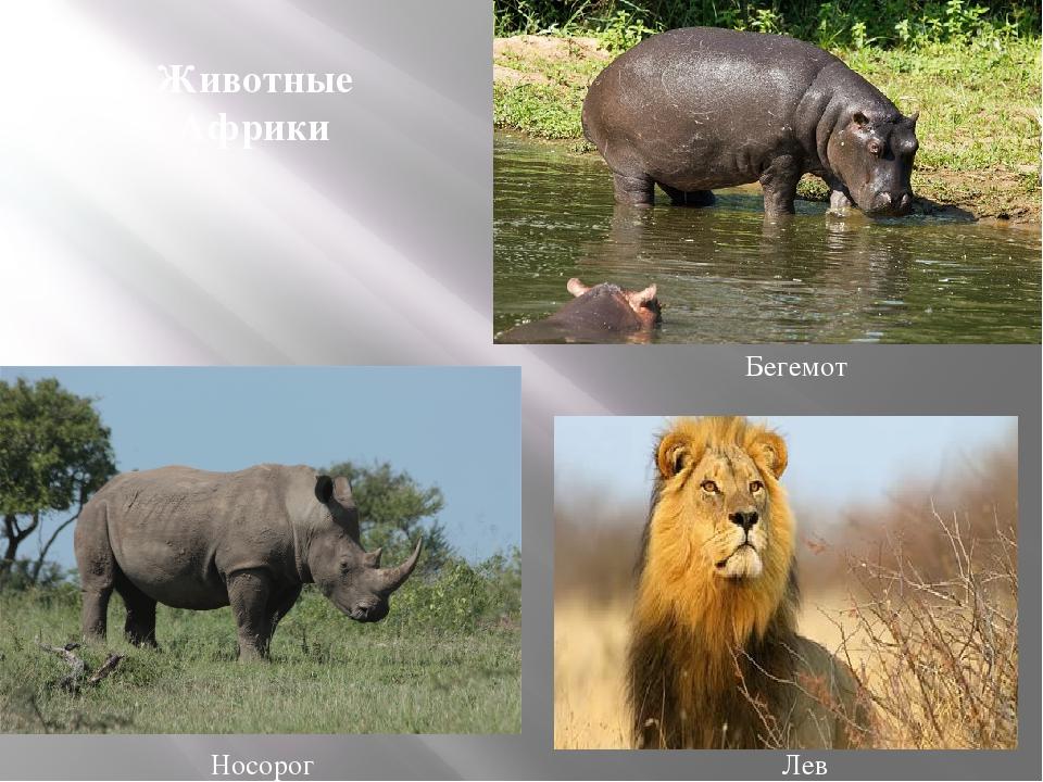 Носорог Бегемот Лев Животные Африки