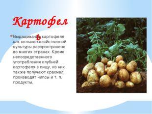 Картофель Выращивание картофеля как сельскохозяйственной культуры распростран