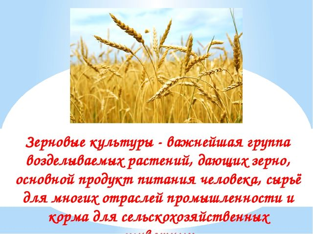 Зерновые культуры - важнейшая группа возделываемых растений, дающих зерно, ос...