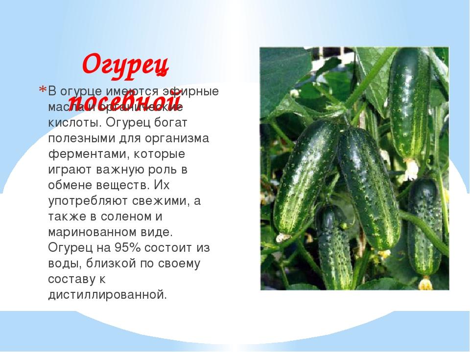 Огурец посевной В огурце имеются эфирные масла и органические кислоты. Огурец...