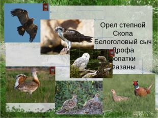 Орел степной Скопа Белоголовый сыч Дрофа Куропатки Фазаны