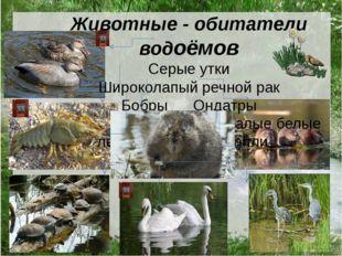 Животные - обитатели водоёмов Серые утки Широколапый речной рак Бобры Ондатры