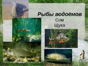 Рыбы водоёмов Сом Щука Окунь Ёрш Судак