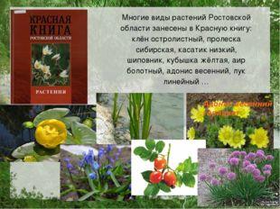 Многие виды растений Ростовской области занесены в Красную книгу: клён острол