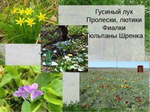 Гусиный лук Пролески, лютики Фиалки Тюльпаны Шренка