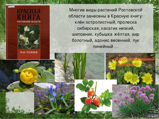 Многие виды растений Ростовской области занесены в Красную книгу: клён острол...