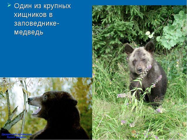 Один из крупных хищников в заповеднике- медведь