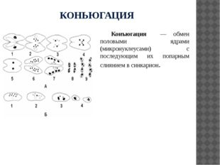 КОНЬЮГАЦИЯ Конъюгация — обмен половыми ядрами (микронуклеусами) с последующим