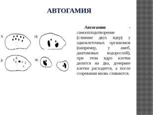 АВТОГАМИЯ Автогамия - самооплодотворение (слияние двух ядер) у одноклеточных