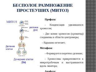 БЕСПОЛОЕ РАЗМНОЖЕНИЕ ПРОСТЕУШИХ (МИТОЗ) Профаза: - Конденсация удвоившихся хр