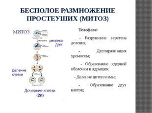 БЕСПОЛОЕ РАЗМНОЖЕНИЕ ПРОСТЕУШИХ (МИТОЗ) Телофаза: - Разрушение веретена делен