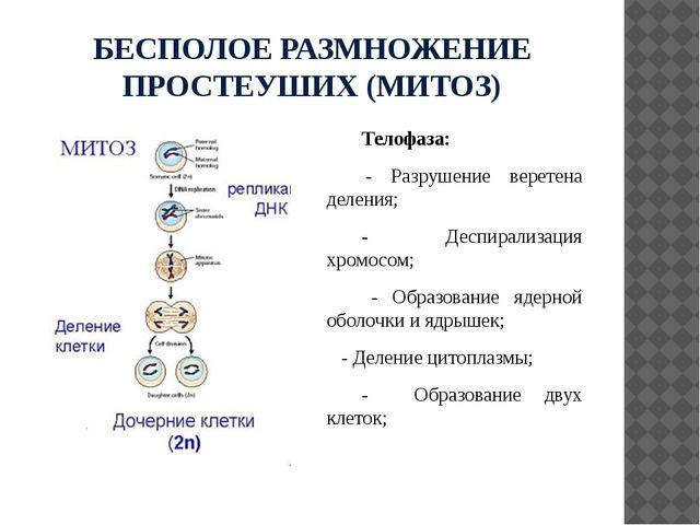 БЕСПОЛОЕ РАЗМНОЖЕНИЕ ПРОСТЕУШИХ (МИТОЗ) Телофаза: - Разрушение веретена делен...