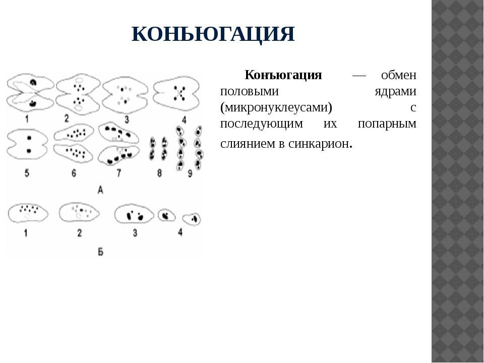 КОНЬЮГАЦИЯ Конъюгация — обмен половыми ядрами (микронуклеусами) с последующим...