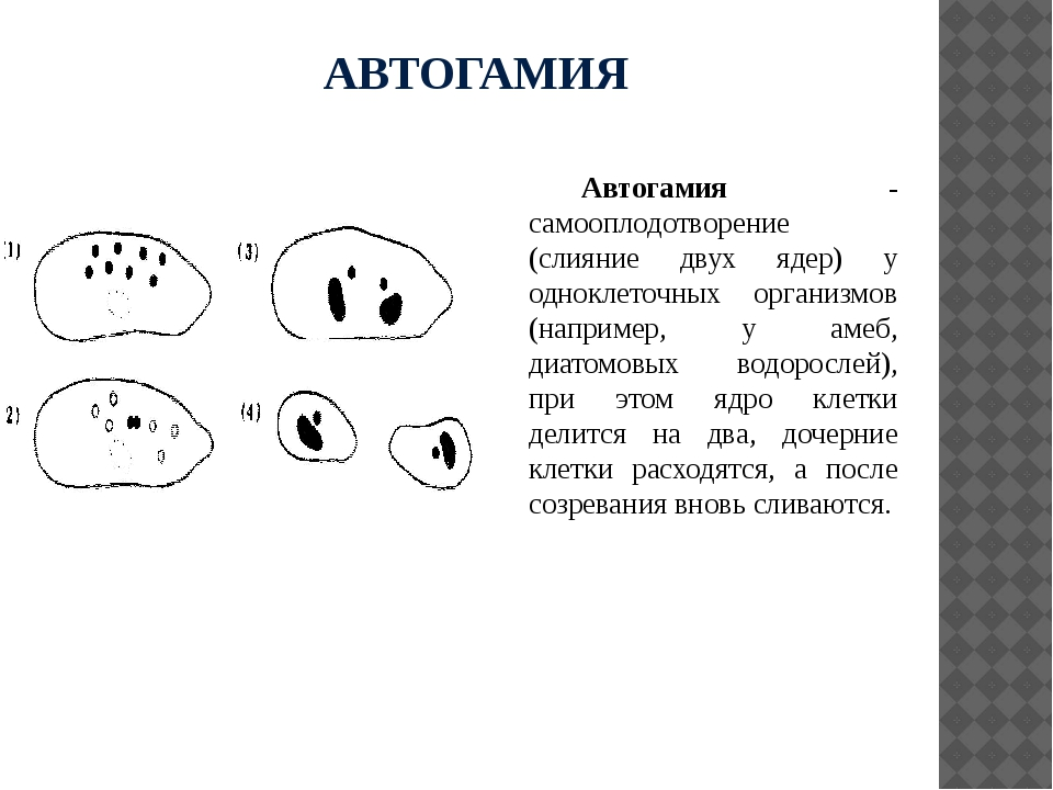 АВТОГАМИЯ Автогамия - самооплодотворение (слияние двух ядер) у одноклеточных...