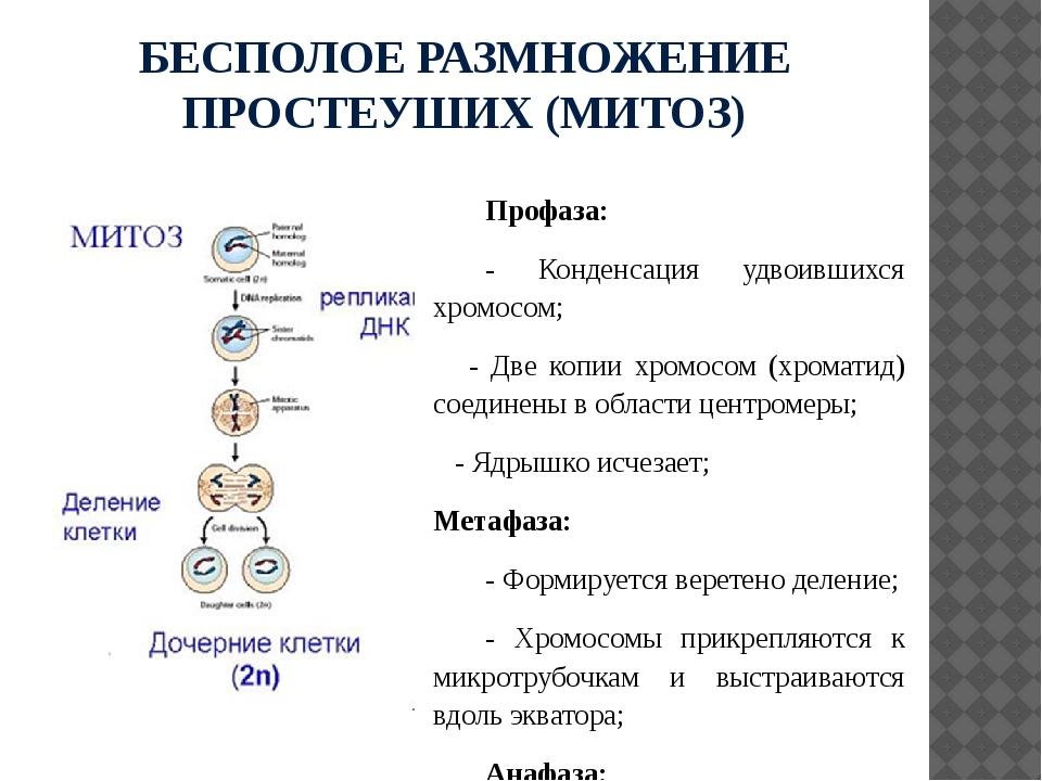 БЕСПОЛОЕ РАЗМНОЖЕНИЕ ПРОСТЕУШИХ (МИТОЗ) Профаза: - Конденсация удвоившихся хр...