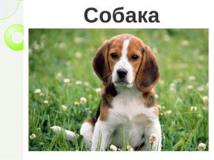 Собака Верно, собака. Действительно, с древних времен человек приручил собаку