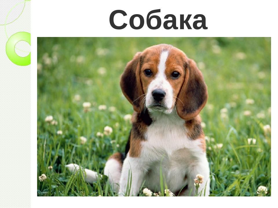 Собака Верно, собака. Действительно, с древних времен человек приручил собаку...