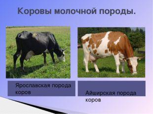 Коровы молочной породы. Ярославская порода коров Айширская порода коров