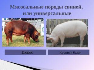 Мясосальные породы свиней, или универсальные Дюрок Крупная белая