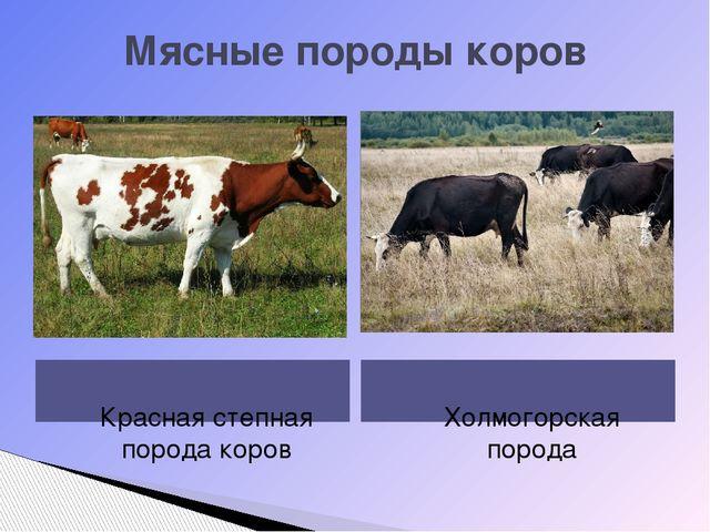 Мясные породы коров Красная степная порода коров Холмогорская порода