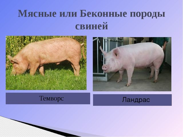Мясные или Беконные породы свиней Темворс Ландрас