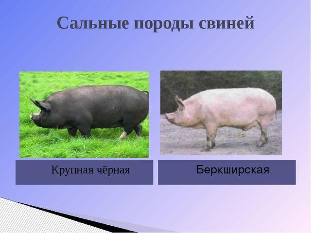 Сальные породы свиней Крупная чёрная Беркширская