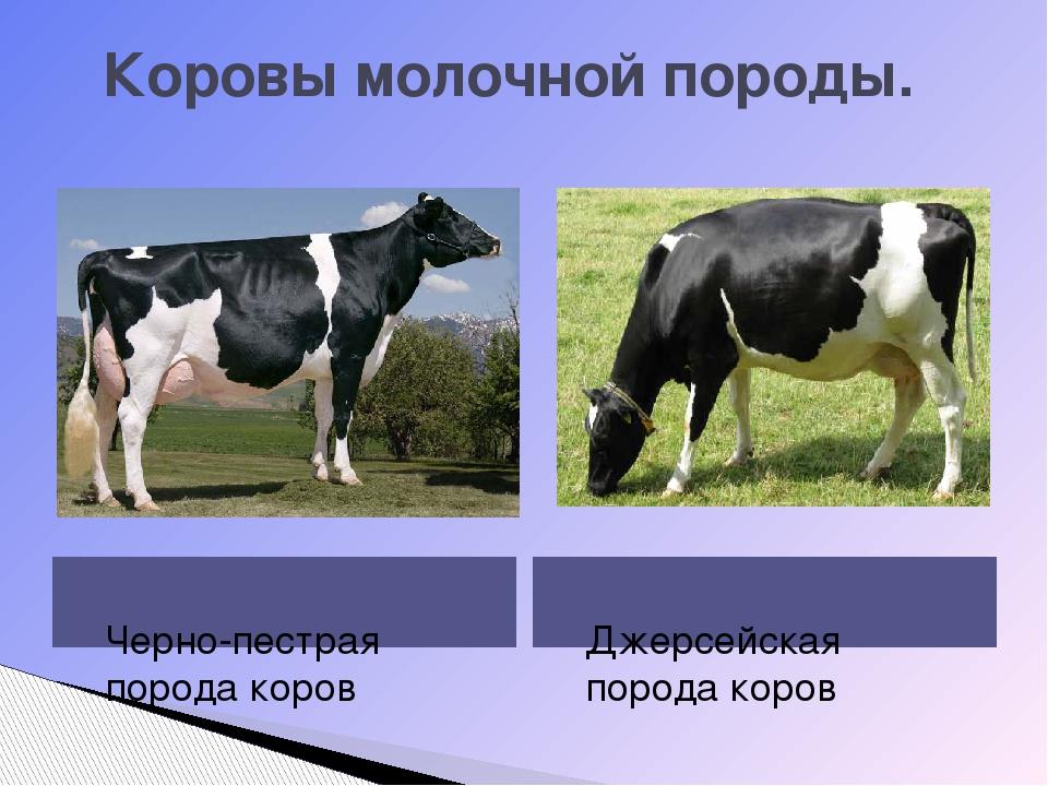 Коровы молочной породы.  Черно-пестрая порода коров Джерсейская порода коров