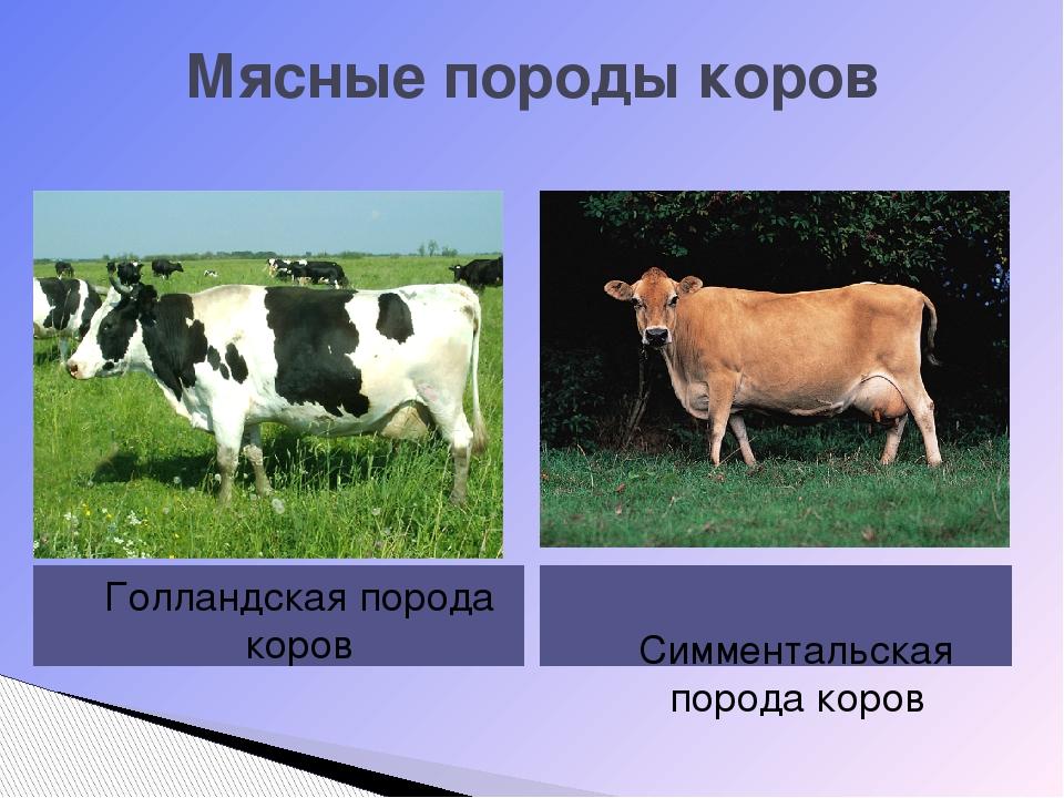 Мясные породы коров Голландская порода коров Симментальская порода коров
