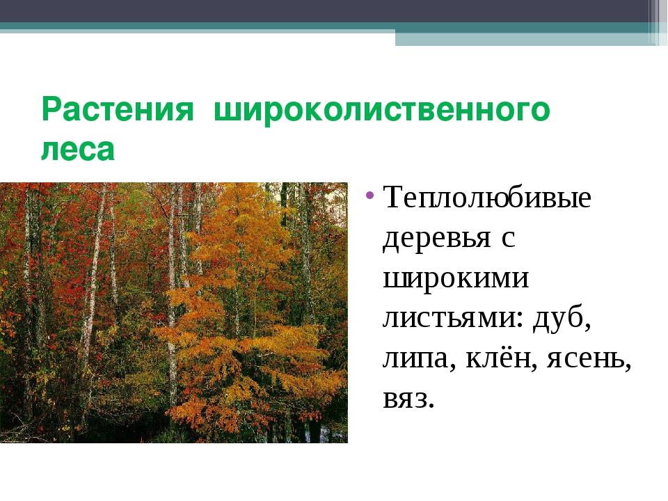Растения широколиственного леса Теплолюбивые деревья с широкими листьями: дуб...