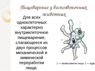 Пищеварение у беспозвоночных животных Для всех одноклеточных характерно внутр
