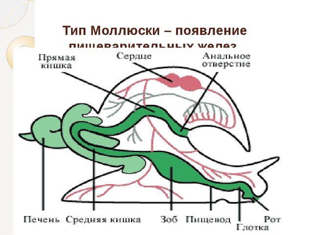 Тип Моллюски – появление пищеварительных желез.
