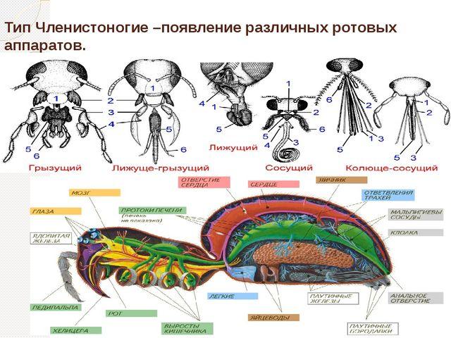 Тип Членистоногие –появление различных ротовых аппаратов.