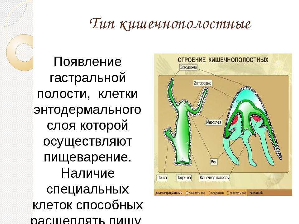 Тип кишечнополостные Появление гастральной полости, клетки энтодермального сл...