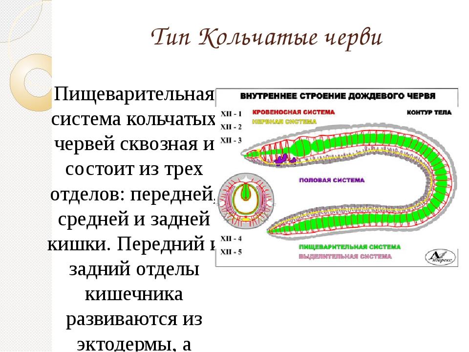 Тип Кольчатые черви Пищеварительная система кольчатых червей сквозная и состо...